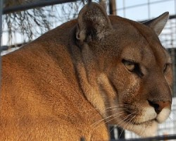 Michigan conservation officers find dead cougar in UP